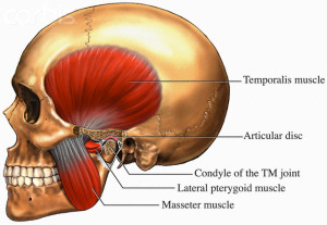 Muscles Used for Chewing